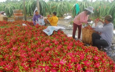Vườn cây trái Vĩnh Kim điểm tham quan thú vị độc đáo tại Tiền Giang