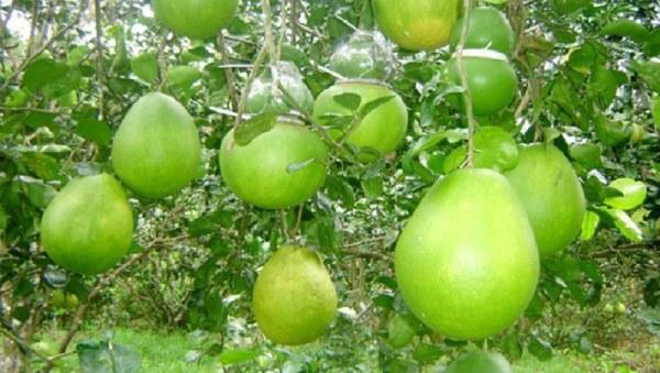 Vườn cây trái Vĩnh Kim sai trĩu cành