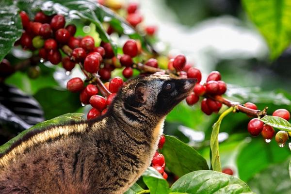 Chồn sẽ được cho ăn các hạt cà phê rồi tiêu hóa chúng