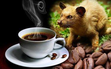 Cà phê chồn – thức uống đẳng cấp và xa xỉ nhất nhì thế giới