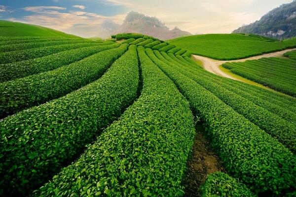 Vùng đất Thái Nguyên được thiên nhiên ưu đãi ban tặng những lợi thế để trồng chè