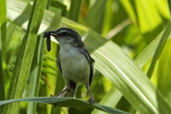 Chim mía có thân hình nhỏ bé nên khá giống loài chim sẻ