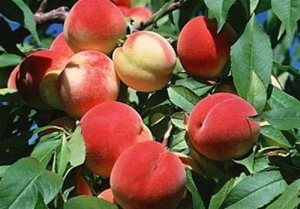 Những trái đào căng mọng khi còn trên cây