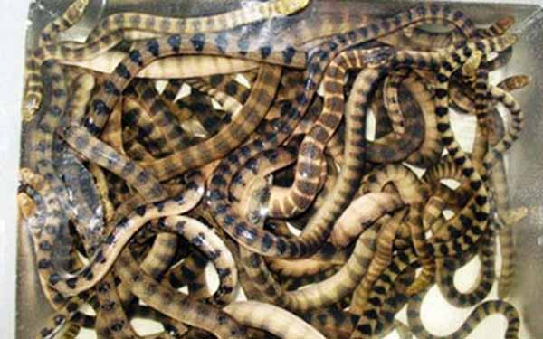 Đẻn biển là một loại rắn biển