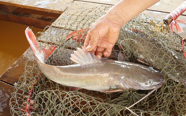 Thịt cá lăng Buôn Mê Thuột rất chắc và thơm