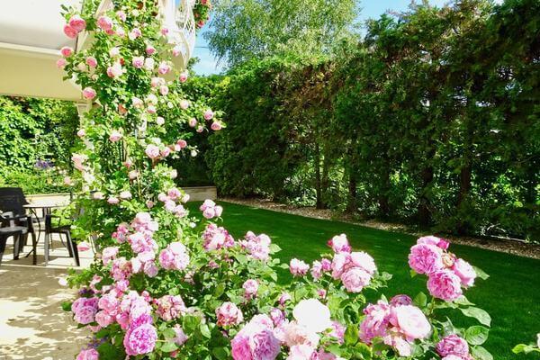 Vườn của homestay trồng hoa hồng nở rộ