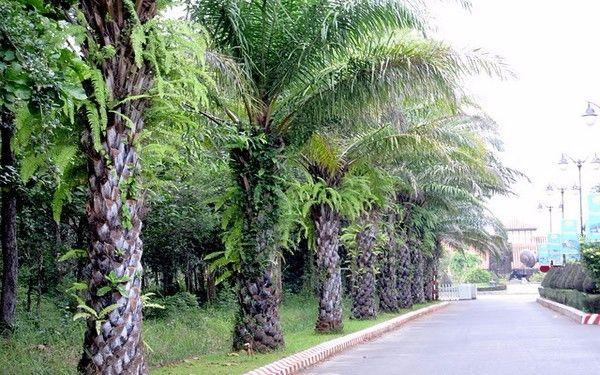 Cây cọ lá xẻ thường thấy nhiều trong các khu resort vơi kiến trúc sân vườn