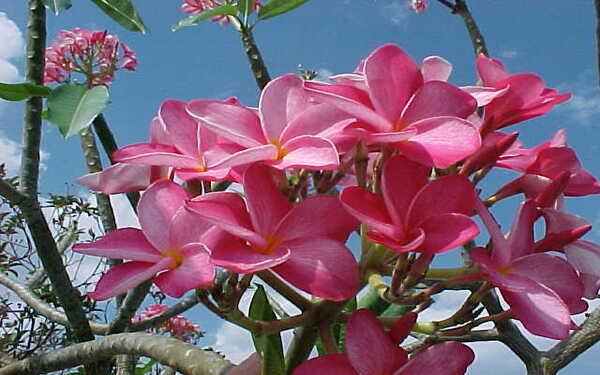 Cây hoa đại đỏ đặc trưng với mùi hương quyến rũ thơm ngát khó cưỡng