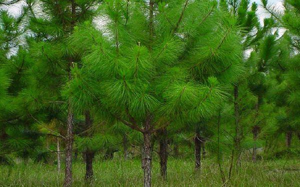 Cây thông caribe được trồn bằng hạt giống như cây thông thông thường