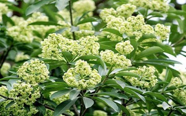 Mùi thơm đặc trưng của cây hoa sữa không thể thiếu trong các công trình resort