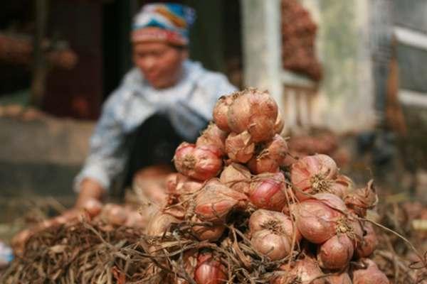 Mỗi năm, người dân đều thu hoạch hành tỏi để phục vụ mục đích kinh tế
