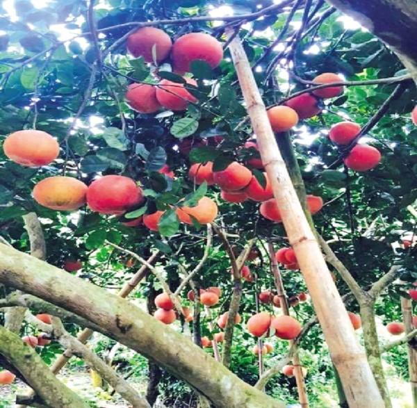 Khi bưởi đến mùa thu hoạch, những trái to, tròn và đỏ mọng