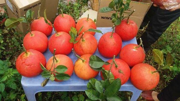 Bưởi đỏ tiến vua Luận Văn vào mùa thu hoạch cận Tết nên được nhiều gia đình bày lên mâm ngũ quả, thể hiện sự may mắn