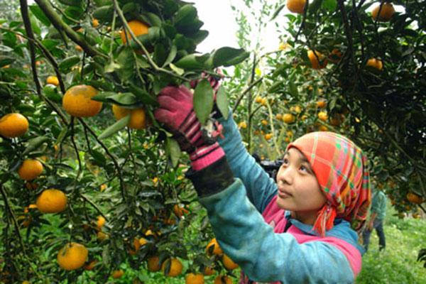 Mùa thu hoạch cam sành thường rơi vào dịp gần Tết Nguyên Đán