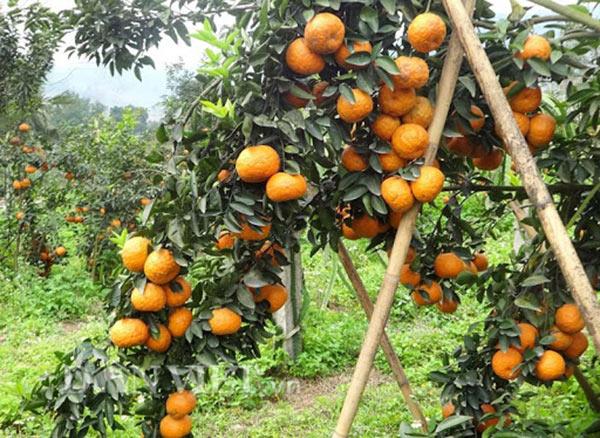 Vườn cam sành chín vàng rộ tại Bắc Quang