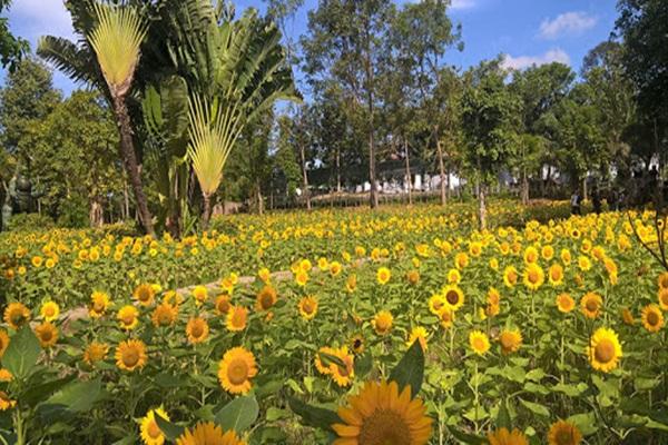 Cánh đồng hoa hướng dương ngay tại khu du lịch