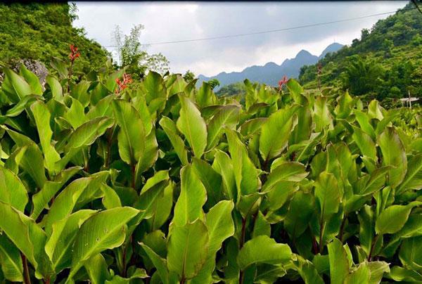 Vườn dong, riềng tại Cao Bằng