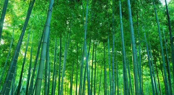 Tre là loại cây thân thuộc và gần gũi với người dân Việt Nam