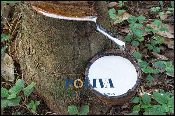 Nệm cao su thiên nhiên được làm hoàn toàn từ mủ cao su nguyên chất